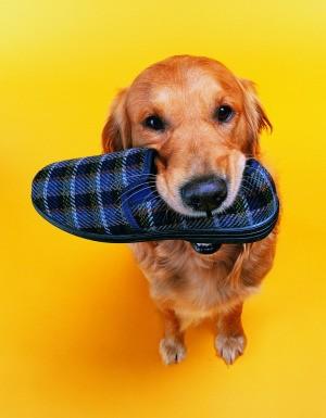 Dog stealing a shoe.