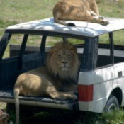 big cat in a car