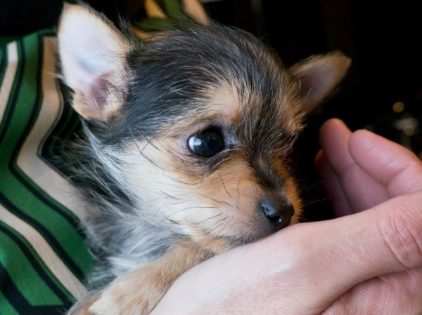 Chihuahua Yorkshire Terrier Mix Photos Thriftyfun