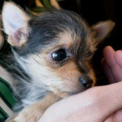 Chihuahua Yorkshire Terrier Mix