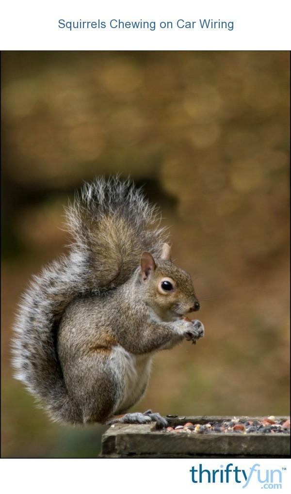 Squirrels Chewing on Car Wiring   ThriftyFun