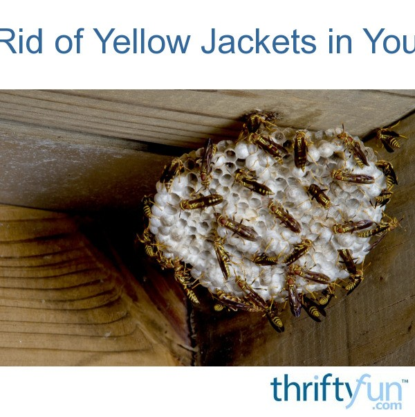 Getting Rid Of Yellow Jackets In Your House Thriftyfun