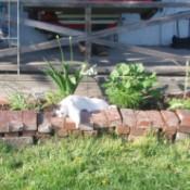Cat lying in flower bed.