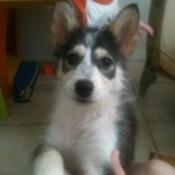 Photo of puppy when a bit older.