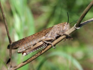 Locust on a plant.