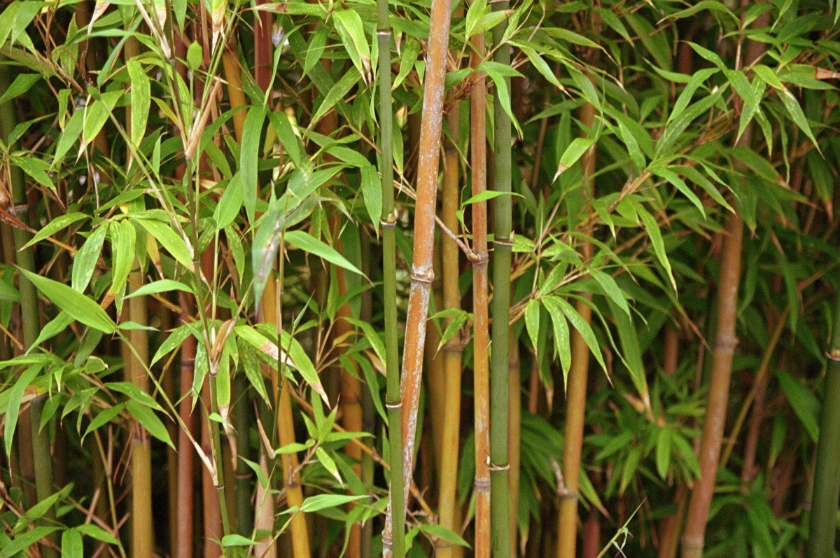 ornamental bamboo fence.htm getting rid of bamboo thriftyfun  getting rid of bamboo thriftyfun
