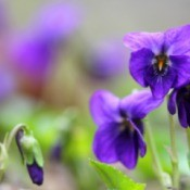 Growing Violets