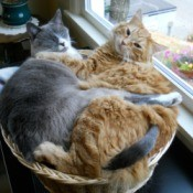 Two cats in cat basket, intertwined.