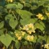Growing Epimedium