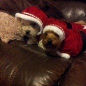 Two dogs in Santa suits.