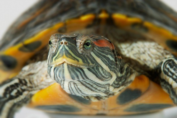 Hibernating Pet Turtles Indoors | ThriftyFun