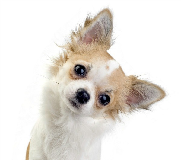 What Is The Best Dog Food For A Picky Chihuahua