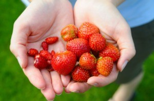 Hands holding garden grown strawberries.