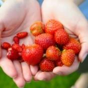 Hands holding garden grown strawberries.
