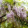 Closeup of blooming wisteria.