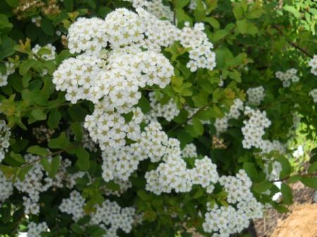 White spirea flowers.