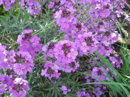 Purple wallflower.