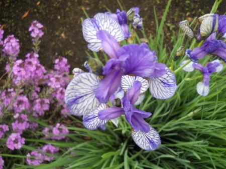 Japanese iris.