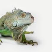 Iguana Photos