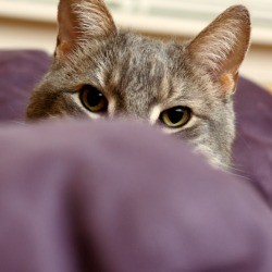 Cat peeking over the arm of a purple colored couch.