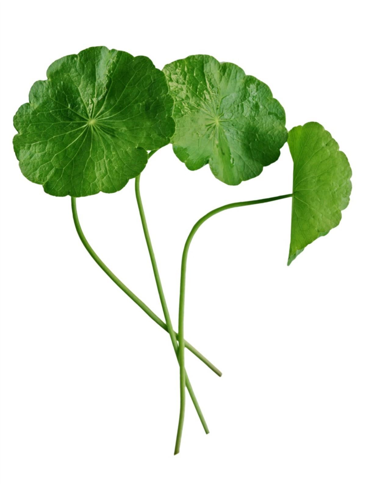 Getting Rid Of Dollar Weed Pennywort