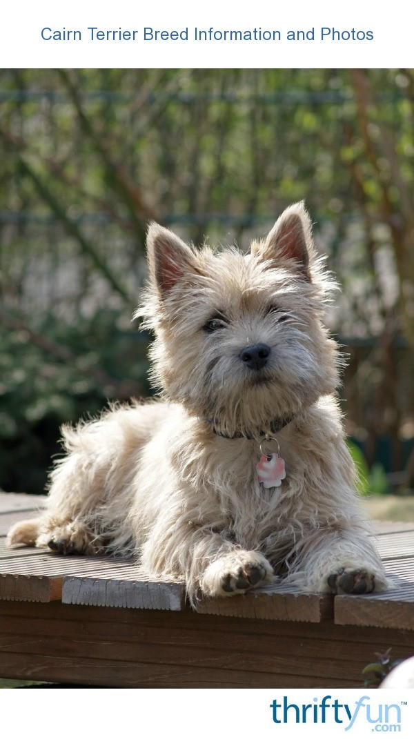 Cairn Terrier Breed Information And Photos Thriftyfun