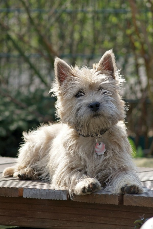 White Cairn Terrier Puppy Cairn Terrier Breed In...