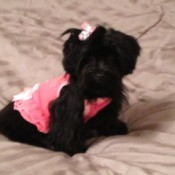 Black dog in pink outfit.