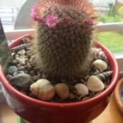 Flowering cactus in pot.