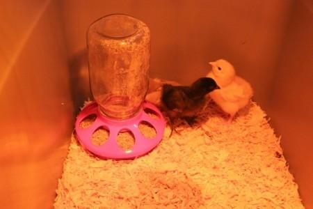chick feeder
