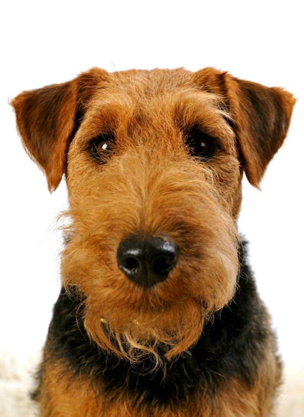 Welsh Terrier Breed Information Thriftyfun