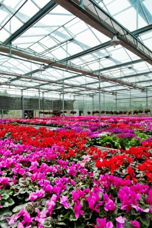 Buying Bedding Plants