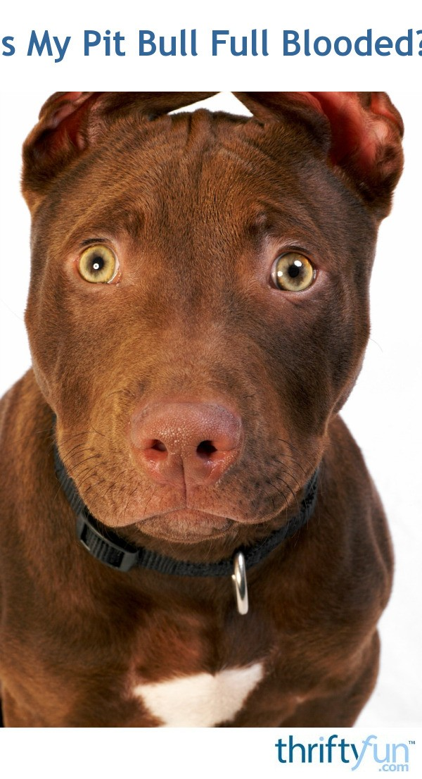 Is My Pit Bull Full Blooded? | ThriftyFun