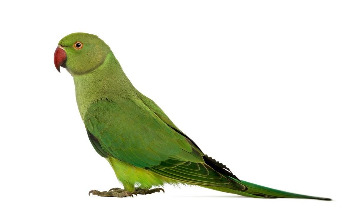 Understanding Parakeet Behavior | ThriftyFun