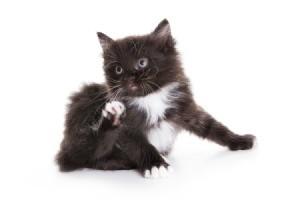 kitten with fleas