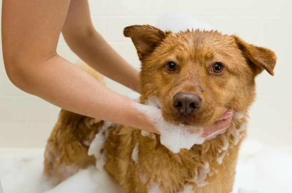 Dog still smells after a bath thriftyfun if giving your dog a bath does not eliminate a bad smell you will need to try to determine the cause this is a guide about when a dog still smells after solutioingenieria Images