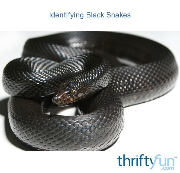 Identifying Black Snakes | ThriftyFun