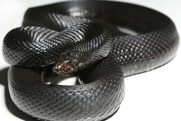 Identifying Black Snakes Thriftyfun