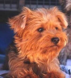 Billy (Yorkshire Terrier)