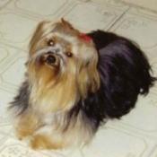 Tessa Babes (Yorkshire Terrier)