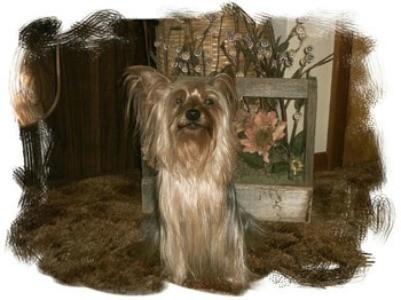 Pockets (Yorkshire Terrier)