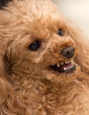 Aggressive dog bearing it's teeth and growling.