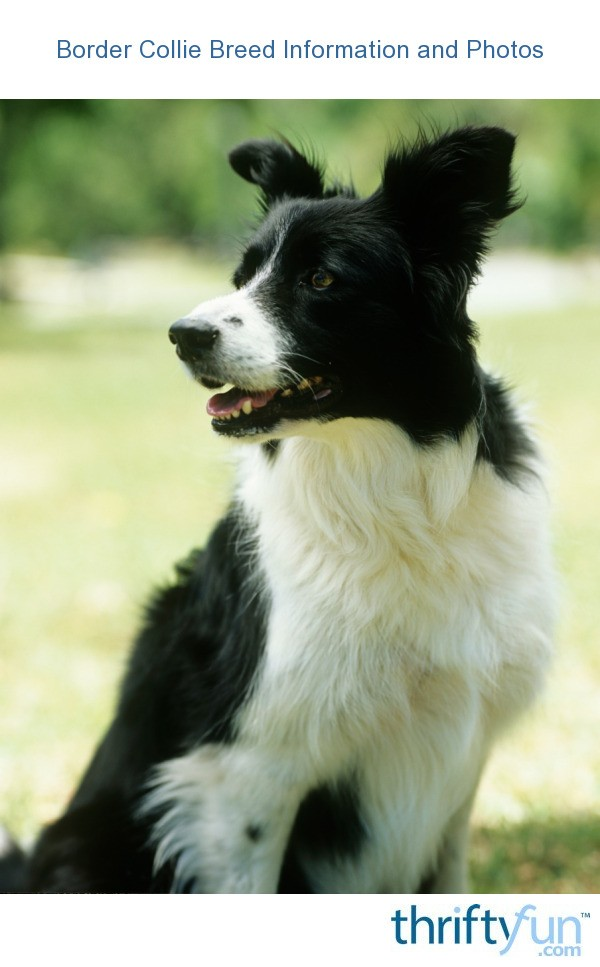 Border Collie Breed Information And Photos Thriftyfun