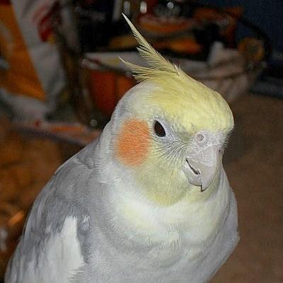 Romeo (Cockatiel)