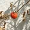 Tomato Plants Dying