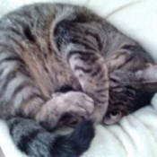 Tabby cat curled up in a ball.