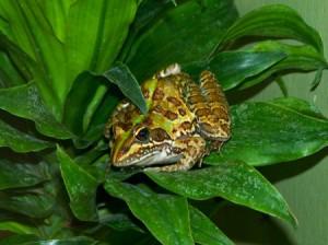 Frog (Pretoria Zoo, South Africa)