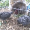 Rocky and Barry (Chickens)
