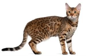 Bengal House Cat