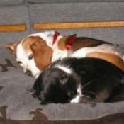 Molly (Beagle)